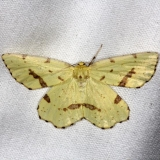 6743 Crocus Geometer Moth yard 8-6-13