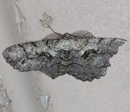 6745 Giant Gray Moth Village Creek St Pk, Texas 11-6-13_opt