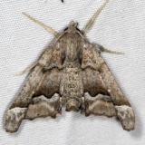 6747 Meske's Pero Moth Campsite 119 Falcon St Pk 10-22-16_opt
