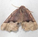 6748 Hubner's Pero Moth Little Talbot Island St Pk 2-21-13