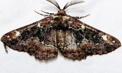 6763 Oak Beauty Moth Alexander Springs Ocala Natl Forest 3-18-13