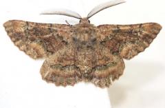 6763 Oak Beauty Moth Little Talbot Island St Pk 2-21-13
