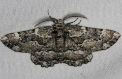 6763 Oak Beauty Moth Thunder Lake Mich UP 6-25-13