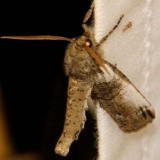 6779 Ceratonyx permagnaria Little Talbot Island St Pk Fl 2-19-13