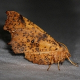 6797 Maple Spanworm Moth Thunder Lake UP Mich 9-26-14