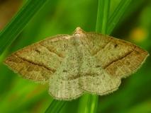 6804 Northern Petrophora Moth Eighteen Mile Creek Mich UP 6-25-13