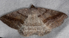 6807 Pale Alder Moth Thunder Lake Mich 6-21-13