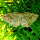 6812 Pale Homochlodes Moth Seney Wildlife area Mich UP 6-26-13