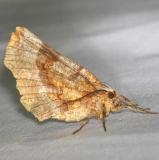 6818 Kents Geometer Moth Carter Cave St Pk Ky 4-23-13