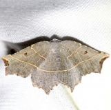 6819 Pale Metanema Moth yard 5-19-12