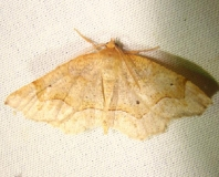 6825 Pale Metarranthis Moth Jenny Wiley Ky 4-26-12
