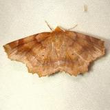 6828 Purplish Metarranthis Moth Jenny Wiley St Pk KY 4-25-12