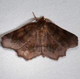 6828 Purplish Meterranthis Moth Ocean Pond Osceolo Natl Frst 3-25-15