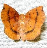 6829 Meterranthis lateritiaria Grasshopper Lake Ocala Natl 3-15-12
