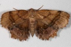 6835 Scallop Moth Thunder Lake UP Mich 6-20-16 (5a)_opt