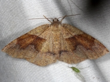 6836 American Barred Umber Moth Thunder Lake Mich UP 6-24-13
