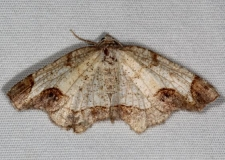 6837 Alien Probole Moth Thunder Lake UP Mich 6-20-15