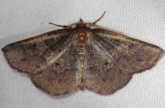 6838 Friendly Probole Moth Shawnee St Pk Oh 6-15-13_opt