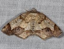 6838 Friendly Probole Moth Thunder Lake Mich 6-21-13