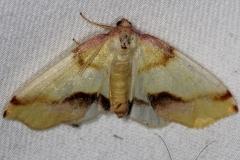 6840 Lemon Plagodis Moth Thunder Lake Mich UP 6-22-13