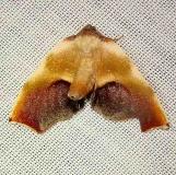 6841 Purple Plagodis Moth Jenny Wiley Ky 4-26-12
