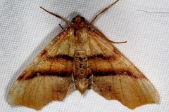 6842 Straightlined Plagotis moth tentativeThunder Lake UP Mich 6-17-16 (6a)_opt