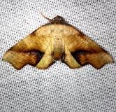 6843 Fervid Plagodis Moth Carter Cave St Pk Ky 4-23-13