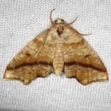 6844 Hollow-spotted Plagotis Moth Carter Cave St Pk Ky 4-23-13