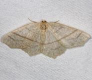 6884 Straw Besma Moth Thunder Lake Mich 6-21-13
