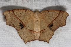 6885 Oak Besma Moth Silver Lake Cypress Glenn Fl 3-16-15
