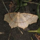 6885 Oak Besma Moth yard 5-9-13