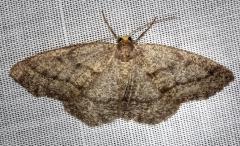 6892 Yellow-headed Looper Moth Carter Cave St Pk Ky 4-23-13