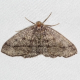 6894 Curved-lined Looper Moth Yard 5-6-15 (9)_opt