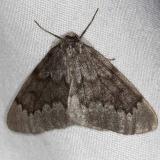 6908 Pine Conelet Looper Moth tentativeThunder Lake UP Mich 9-27-14