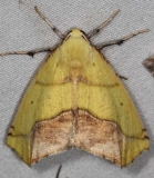 6912 Sharp-lined Yellow Moth Lake of the Woods Ontario 7-18-16 (16a)_opt_opt