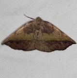 6933 Dark-edged Eusarca Moth Silver Lake Cypress Glenn Fl 3-19-15