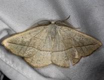 6941 Confused Eusarca Moth Shawnee St Pk Oh 6-14-13