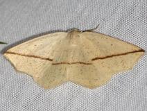 6963 Yellow Slant-line Moth yard 5-16-13