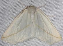 6964 White Slant-line Moth Thunder Lake Mich 6-21-13