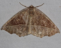 6966 Curved-toothed Geometer Moth Thunder Lake Up Mich 6-22-14