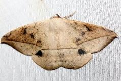 6967 Spurge Spanworm Moth Lake Kissimmee St Pk Fl 2-28-13