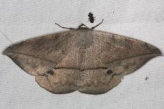 6967 Spurge Spanworm Moth Quarry Lake Everglades 2-28-15