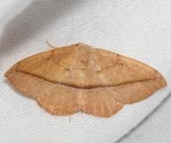 6974 Juniper-twig Geometer Moth Little Talbot Island St Pk Fl 2-19-13