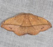 6974 Juniper-twig Geometer Moth yard 6-5-13
