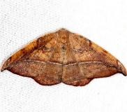 6974 Juniper-twig Geometer Moth yard 8-1-13