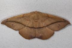 6982 Large Maple Spanworm Moth Silver Lake Cypress Glenn Fl 3-18-15