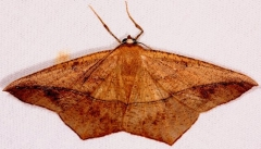 6982 Large Maple Spanworm Moth Village Creek St Pk Texas 11-7-13