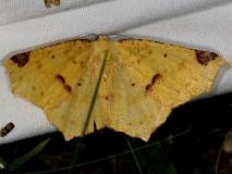 6987 Variable Antepione Moth Copperhead firetower Shawnee St Pk 8-6-16 (97a)_opt (1)