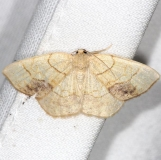 7010 Horned Spanworm Moth yard 6-2-13