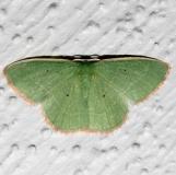 7028 Nemoria extremaria Kissimmee Prairie St Pk 3-11-13